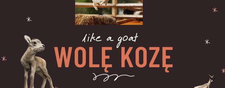 Wolę kozę – czyli dlaczego produkty kozie są lepsze od krowich?